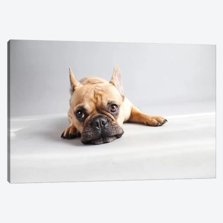 Sad Frenchie Canvas Print #ICS463} by Susan Sabo Canvas Wall Art