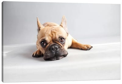 Sad Frenchie Canvas Art Print