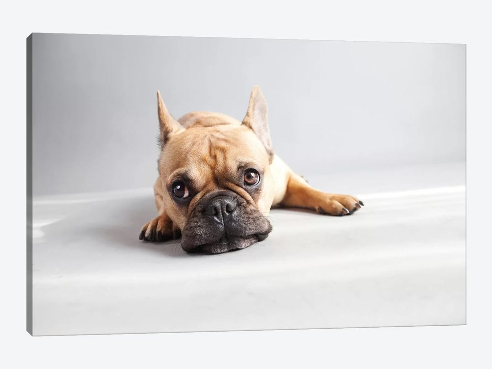 Sad Frenchie by Susan Sabo 1-piece Canvas Wall Art