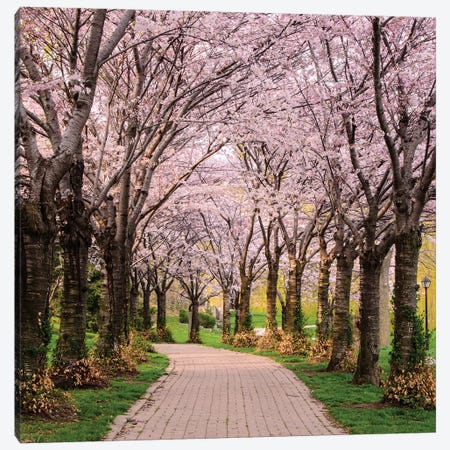 Cherry Blossom Trail Canvas Print #ICS529} by Chuck Burdick Canvas Print