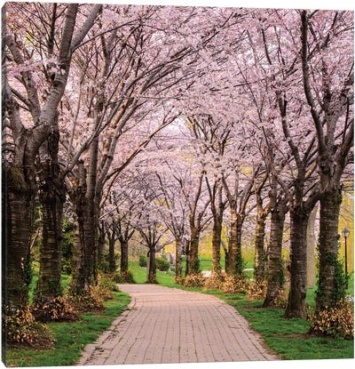 Cherry Blossom Trail Canvas Art Print