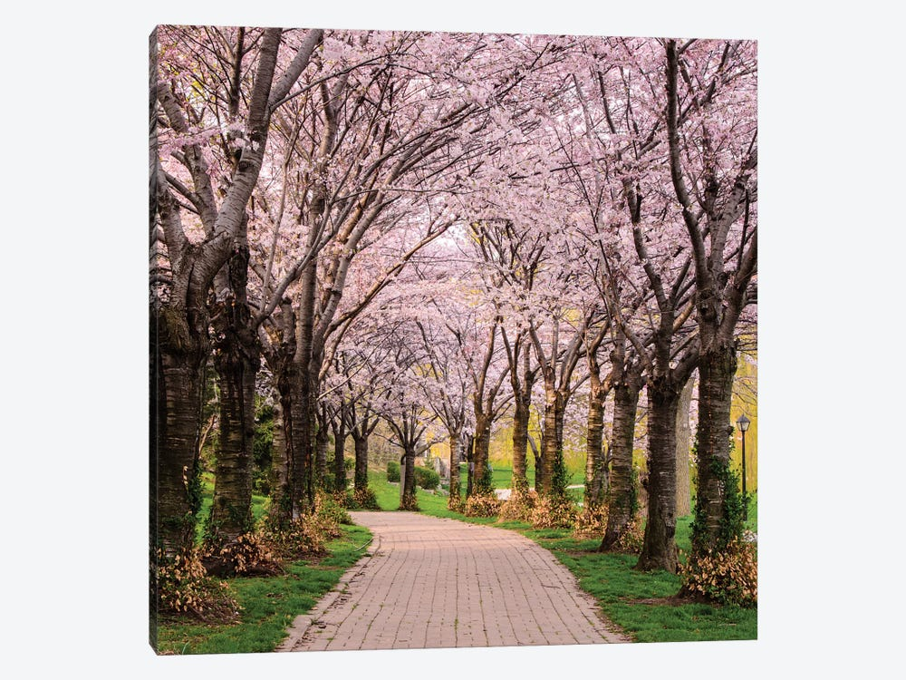 Cherry Blossom Trail by Chuck Burdick 1-piece Art Print