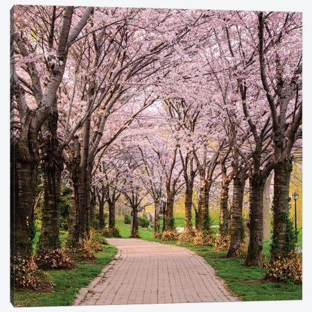 Cherry Blossom Trail Canvas Print #ICS529} by Chuck Burdick Canvas Print