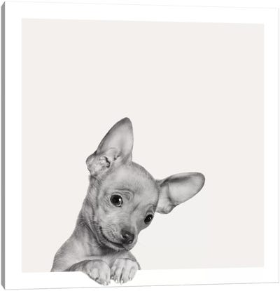 Sweet Chihuahua Canvas Print #ICS634