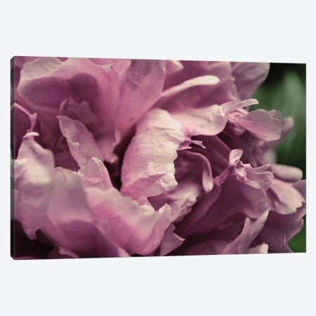 Pink Peony In Morning Canvas Print #ICS844} by Michelle Calkins Art Print