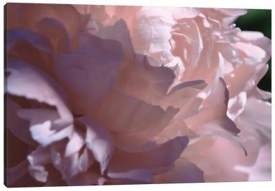 Velvet Peony I Canvas Art Print
