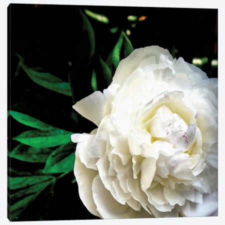 White Peony Canvas Print #ICS848} by Michelle Calkins Canvas Wall Art