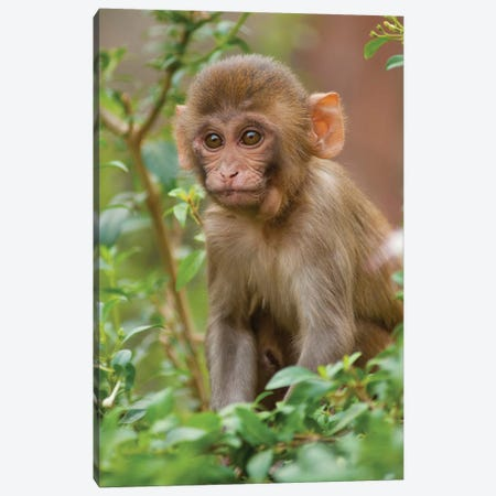 Rhesus Monkey Baby, Monkey Temple, Jaipur, Rajasthan, India. Canvas Print #IHO3} by Inger Hogstrom Canvas Wall Art