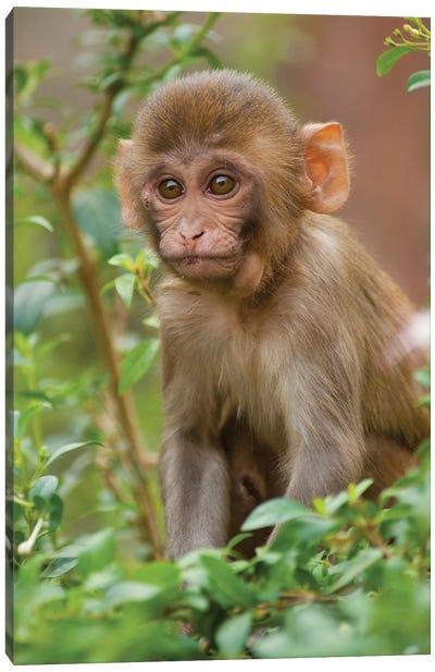 Rhesus Monkey Baby, Monkey Temple, Jaipur, Rajasthan, India. Canvas Art Print