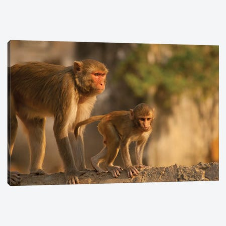 Rhesus Monkey Mother And Baby, Monkey Temple, Jaipur, Rajasthan, India. Canvas Print #IHO4} by Inger Hogstrom Canvas Art Print