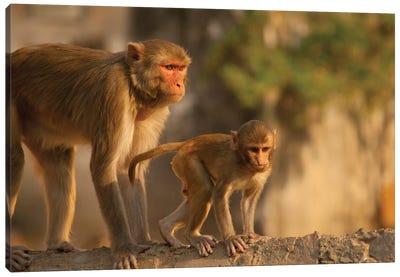 Rhesus Monkey Mother And Baby, Monkey Temple, Jaipur, Rajasthan, India. Canvas Art Print