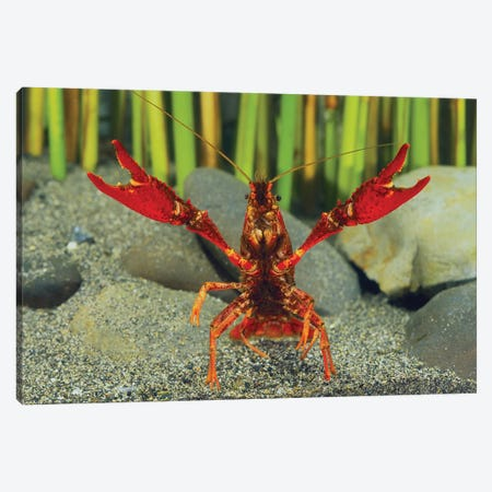Louisiana Crayfish In Defensive Posture, Shiga, Japan Canvas Print #IIM1} by Shigeki Iimura Art Print
