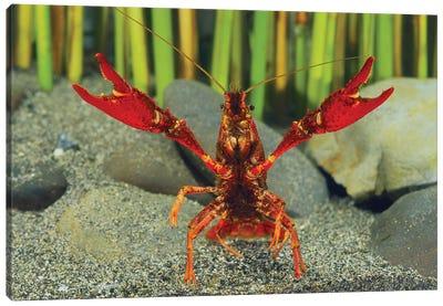 Louisiana Crayfish In Defensive Posture, Shiga, Japan Canvas Art Print