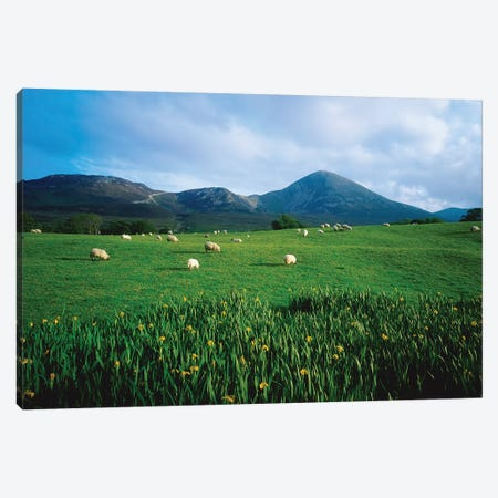 Croagh Patrick, County Mayo, Ireland, Sheep Grazing In Field Canvas Print #IIM31} by Irish Image Collection Canvas Artwork