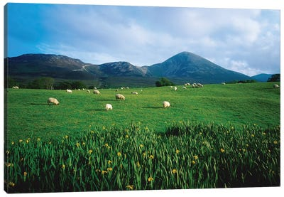 Croagh Patrick, County Mayo, Ireland, Sheep Grazing In Field Canvas Art Print