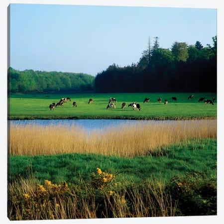 Friesian Cattle, Near Cobh, Co Cork, Ireland Canvas Print #IIM48} by Irish Image Collection Canvas Print