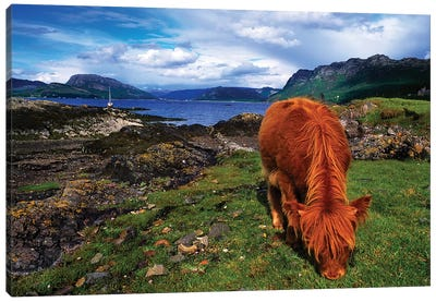 Highland Cattle, Scotland Canvas Art Print