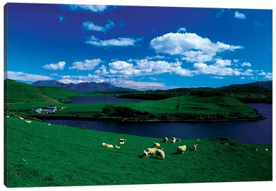 Sheep, Farm On The Isle Of Skye, Scotland Canvas Art Print