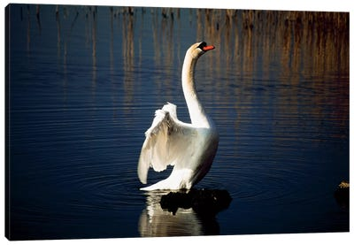 Swan Spreading Its Wings Canvas Art Print
