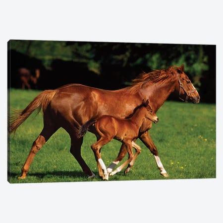 Thoroughbred Chestnut Mare & Foal, Ireland 3-Piece Canvas #IIM83} by Irish Image Collection Art Print