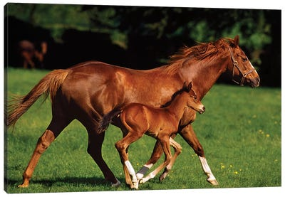 Thoroughbred Chestnut Mare & Foal, Ireland Canvas Art Print