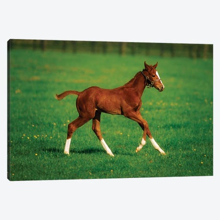 Thoroughbred Mare, National Stud, Kildare Town, Ireland 3-Piece Canvas #IIM84} by Irish Image Collection Canvas Art