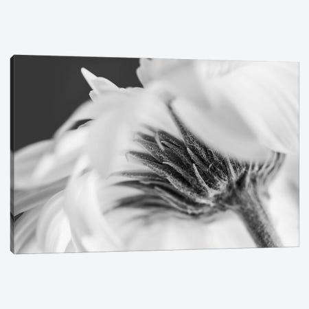 Vanilla Ice Daisy Canvas Print #INB112} by Ingrid Beddoes Art Print