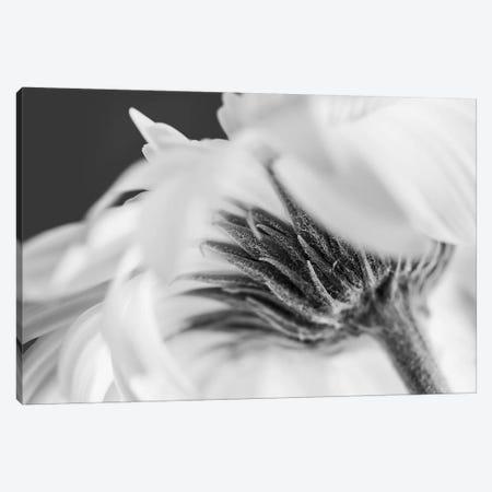 Vanilla Ice Daisy Canvas Print #INB112} by Ingrid Beddoes Art Print