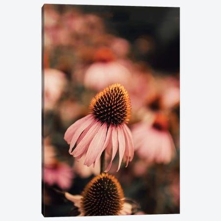 Echinacea Canvas Print #INB97} by Ingrid Beddoes Canvas Print