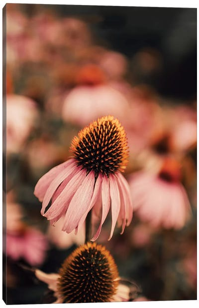 Echinacea Canvas Art Print