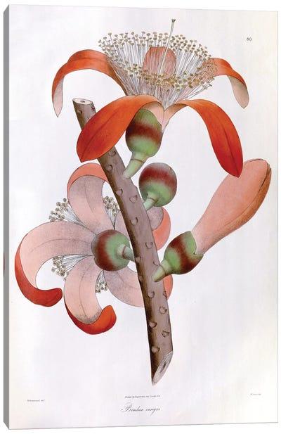 Wallich's Plantae Asiaticae Rariores Series: Bombax Insigne (Red Cotton Tree) Canvas Print #ISH1