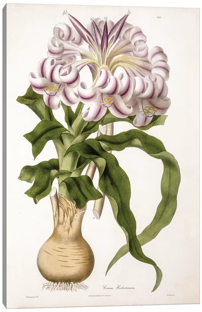 Crinum Herbertianum (String Lily) Canvas Art Print