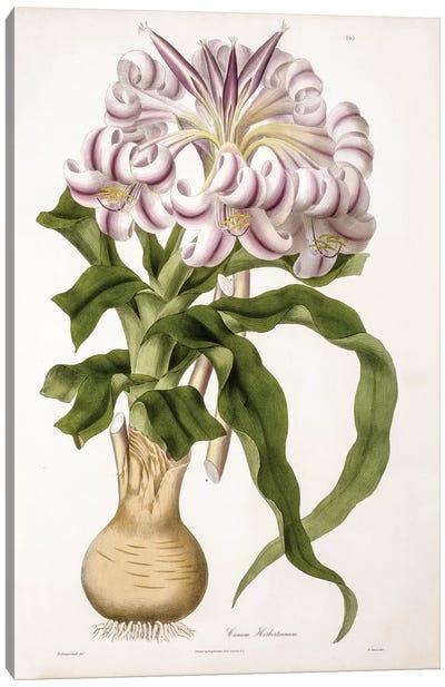 Crinum Herbertianum (String Lily) Canvas Art Print