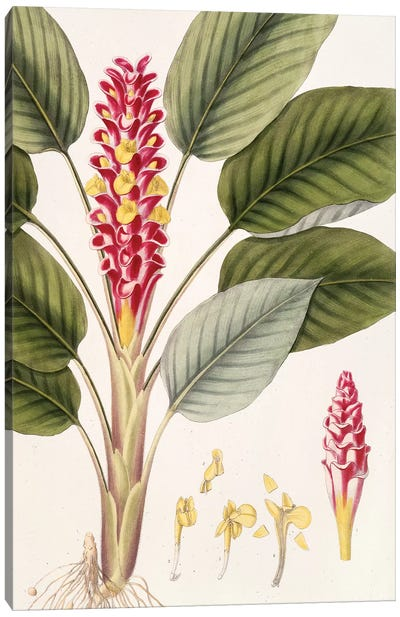 Curcuma Roscoeana (Jewel Of Burma) Canvas Art Print
