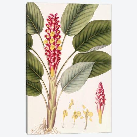 Curcuma Roscoeana (Jewel Of Burma) Canvas Print #ISH3} by Vishnupersaud Canvas Wall Art
