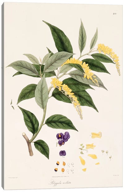 Polygala Arillata (Milkwort) Canvas Art Print