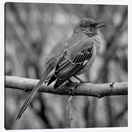 Silver Songster Canvas Print #ISL209} by Chris Lord Canvas Print