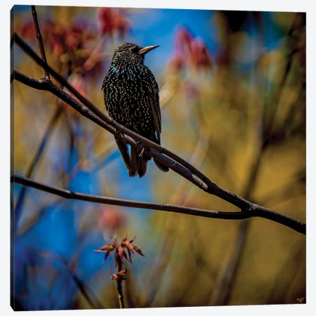Starling In Springtime Canvas Print #ISL80} by Chris Lord Art Print