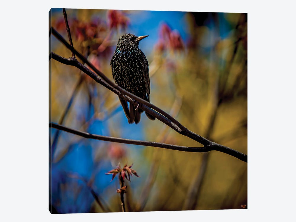 Starling In Springtime by Chris Lord 1-piece Art Print