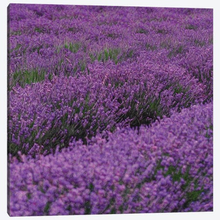 Blooming Purple Lavender Canvas Print #IVG237} by Ievgeniia Bidiuk Canvas Wall Art