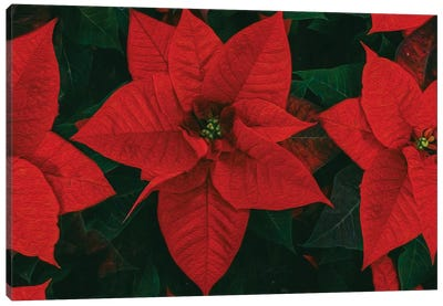 Poinsettia Is Red Canvas Art Print