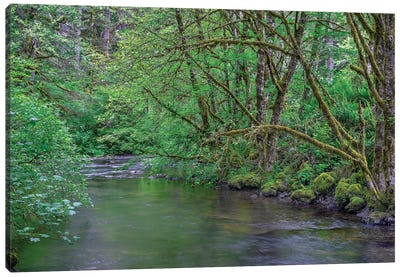 Oregon. Silver Falls State Park, spring flora, primarily maple and red alder Canvas Art Print