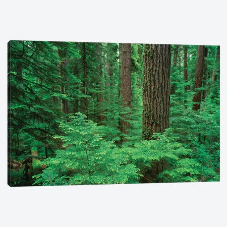 OR, Willamette NF. Middle Santiam Wilderness, Douglas fir giants rise above western hemlock Canvas Print #JBG9} by John Barger Canvas Wall Art