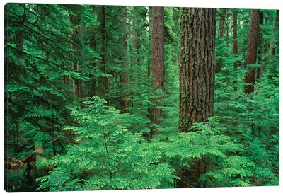 OR, Willamette NF. Middle Santiam Wilderness, Douglas fir giants rise above western hemlock Canvas Art Print