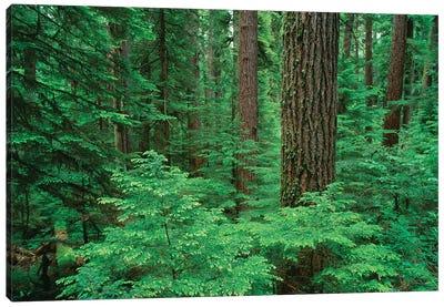 OR, Willamette NF. Middle Santiam Wilderness, Douglas fir giants rise above western hemlock Canvas Art Print