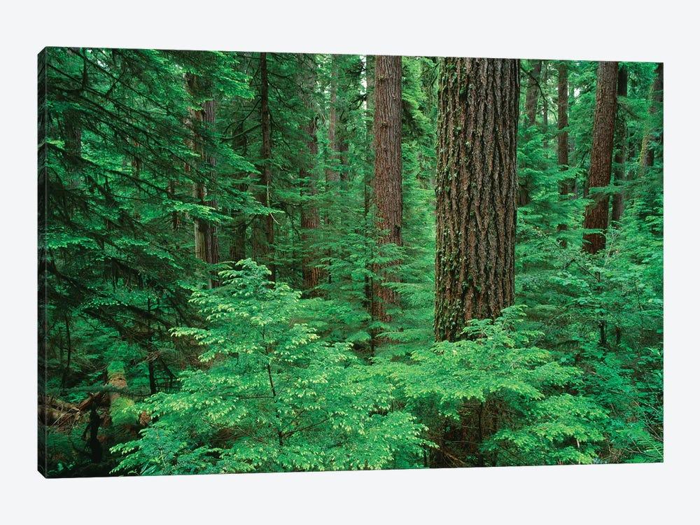 OR, Willamette NF. Middle Santiam Wilderness, Douglas fir giants rise above western hemlock by John Barger 1-piece Canvas Print