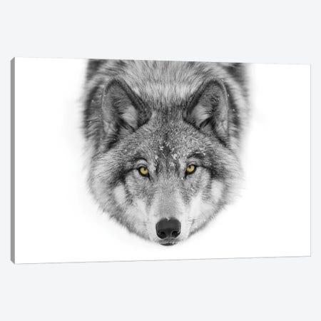 Yellow Eyes - Timber Wolf Canvas Print #JCU1} by Jim Cumming Canvas Art