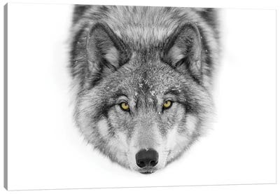 Yellow Eyes - Timber Wolf Canvas Art Print