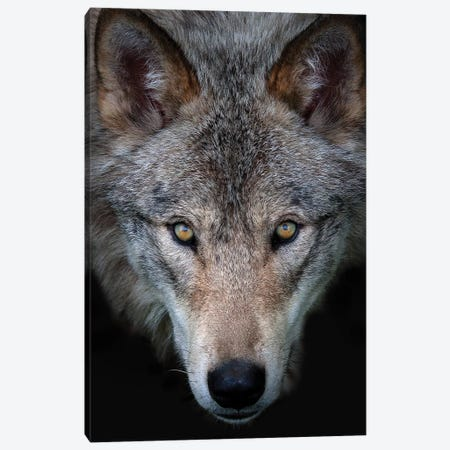All The Better To See You - Timber Wolf Canvas Print #JCU2} by Jim Cumming Canvas Wall Art