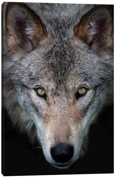 All The Better To See You - Timber Wolf Canvas Art Print